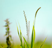 Flowering Grass Royalty Free Stock Photography