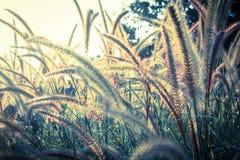 Flowering grass. Royalty Free Stock Image