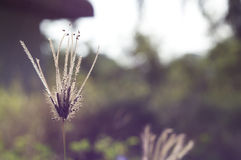 Flowering grass Stock Image