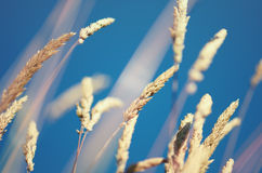 Flowering Grass Stock Photos