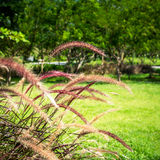 Flowering Grass Blossoms Stock Image