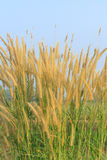 Flowering grass and blue sky Stock Images