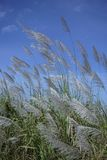 Flowering grass with the blue sky 1 Royalty Free Stock Photos