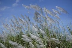 Flowering grass with the blue sky 2 Stock Photography