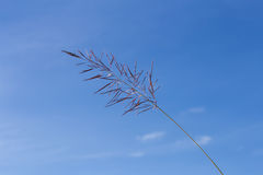 Flowering grass with blue sky Royalty Free Stock Photos