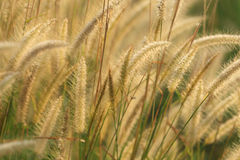 Flowering grass on the garden Royalty Free Stock Image