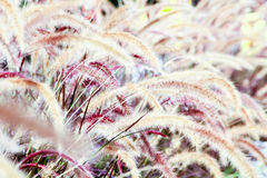 Flowering grass Royalty Free Stock Photos