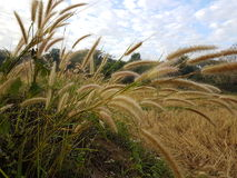 Flowering grass. Stock Photography