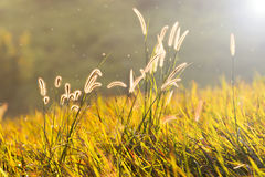 Flowering grass Stock Images