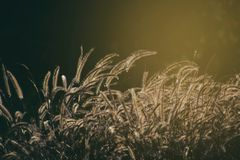 Flowering grass lit from behind with a warm summer evening sun. Beautiful flowering grass lit from behind with a warm summer evening sun royalty free stock photography
