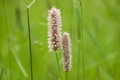 Flowering grass Royalty Free Stock Image