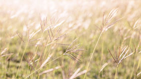 Flowering grass Royalty Free Stock Images