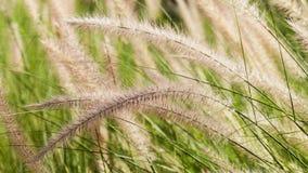 Flowering grass Stock Photo