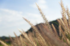 Flowering grass in nature. Stock Images