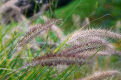 Flowering grass Pennisetum. In the park stock photography