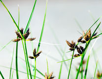 Flowering Grass Plant. Abstract detail of some blooming reed plants, flowering blades of grass and some ripe seed-heads Stock Photos