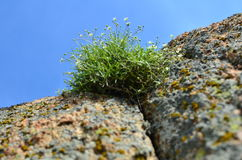 Blooming grass on rock Stock Photography