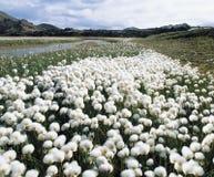 Flowering grass by stream Stock Photos