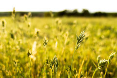 Flowering grass sunlit Royalty Free Stock Image