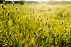 Flowering grass sunlit Royalty Free Stock Photography