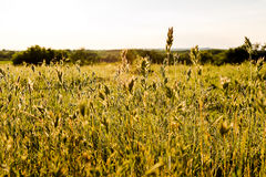 Flowering grass sunlit Stock Photography