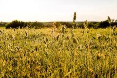 Flowering grass sunlit Stock Photography