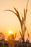 Flowering grass during on sunset. Royalty Free Stock Photo