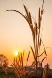 Flowering grass during on sunset. Royalty Free Stock Photos