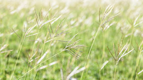 Flowering grass during on sunset. Stock Photography