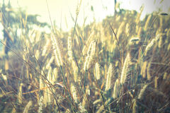 Flowering grass,vintage style light. Stock Photography