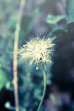 Flowering grass,vintage style . Stock Photography