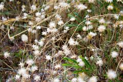 Flowering grass. On the way Stock Images