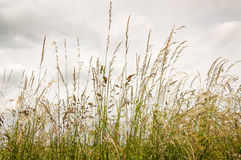 Flowering grasses against a cloudy sky