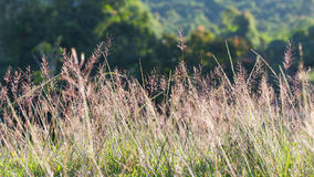 Flowering grasses with sunlight Royalty Free Stock Image