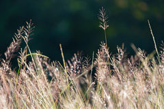 Flowering grasses with sunlight Royalty Free Stock Photo