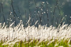 Flowering grasses. Swaying on wind strength Stock Image