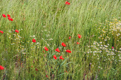 Flowering grasses and wild plants in nature up close Royalty Free Stock Photo