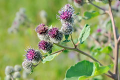 Flowering Great Burdock Royalty Free Stock Photos