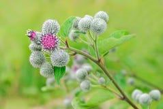 Flowering Great Burdock. (Arctium lappa Stock Image