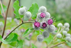 Flowering Great Burdock Royalty Free Stock Images