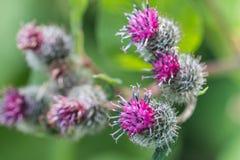 Flowering Great Burdock Royalty Free Stock Images