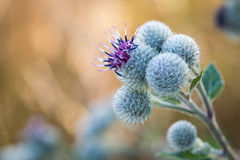 Flowering Great Burdock Stock Photos