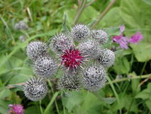 Flowering Great Burdock royalty free stock image