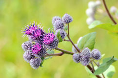 Flowering Great Burdock (Arctium lappa) Royalty Free Stock Images