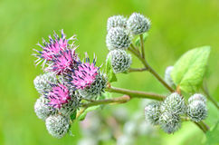 Flowering Great Burdock (Arctium lappa) Royalty Free Stock Photography