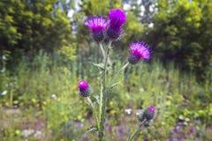 Flowering Great Burdock royalty free stock photos