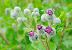 Flowering Great Burdock (Arctium lappa) Stock Image