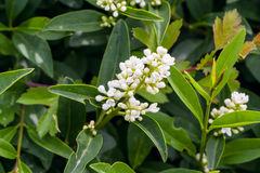 Flowering greeen hedge Royalty Free Stock Photography