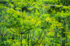 Flowering green dill herbs plant in garden Anethum graveolens. Closeup of fennel flowers on summer time. Agricultural background Stock Photo