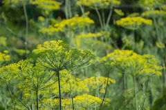 Flowering green dill herbs plant in garden Anethum graveolens. Closeup of fennel flowers on summer time. Agricultural background Royalty Free Stock Image
